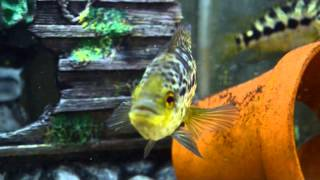 Today in the Fishroom - F1 Parachromis managuense