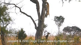 Leopard flees from attacking Wildogs