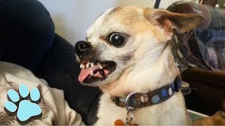Funniest Chihuahuas of September 2018 | Try Not To Laugh Challenge