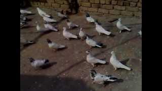 kabootar baz nakeb ul allah khan bannu city  03469166562 (2).mp4