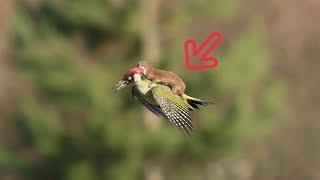 ANEH TAPI NYATA, Burung PELATUK ini Tertangkap Kamera Sedang Menggendong HEWAN Lain, Kok Bisa?