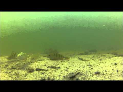 Rybki - Jezioro Majcz