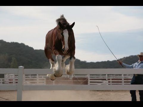 A collection of training and behind the scenes clips that we shot over the past 15 years while working with Budweiser and their Clydesdales.. www.turtleranch...