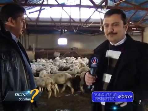 MERİNOS Koyun çiftliği Enver Baltaş 0535 6660880