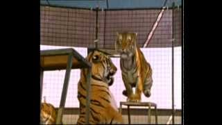 Circus Training Siberian Tigers