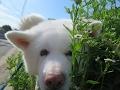 秋田犬げんきを愛していただき本当にありがとうございました