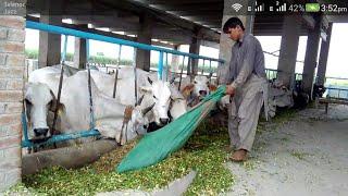 Cow farming/modern dairy farming in pakistan