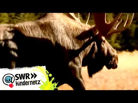 Elche bei OLI's Wilde Welt | SWR Kindernetz