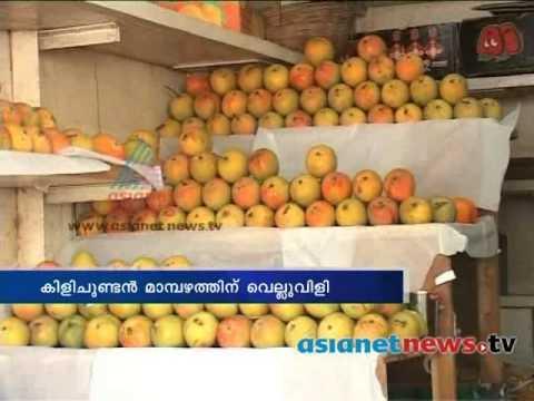 European Union bans Alphonso mangoes from India | farmers in crisis മാമ്പഴകര്ഷകര്ക്ക് ഭീഷ്ണി
