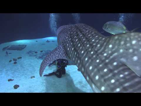 Diving With Whale Sharks in the Georgia Aquarium