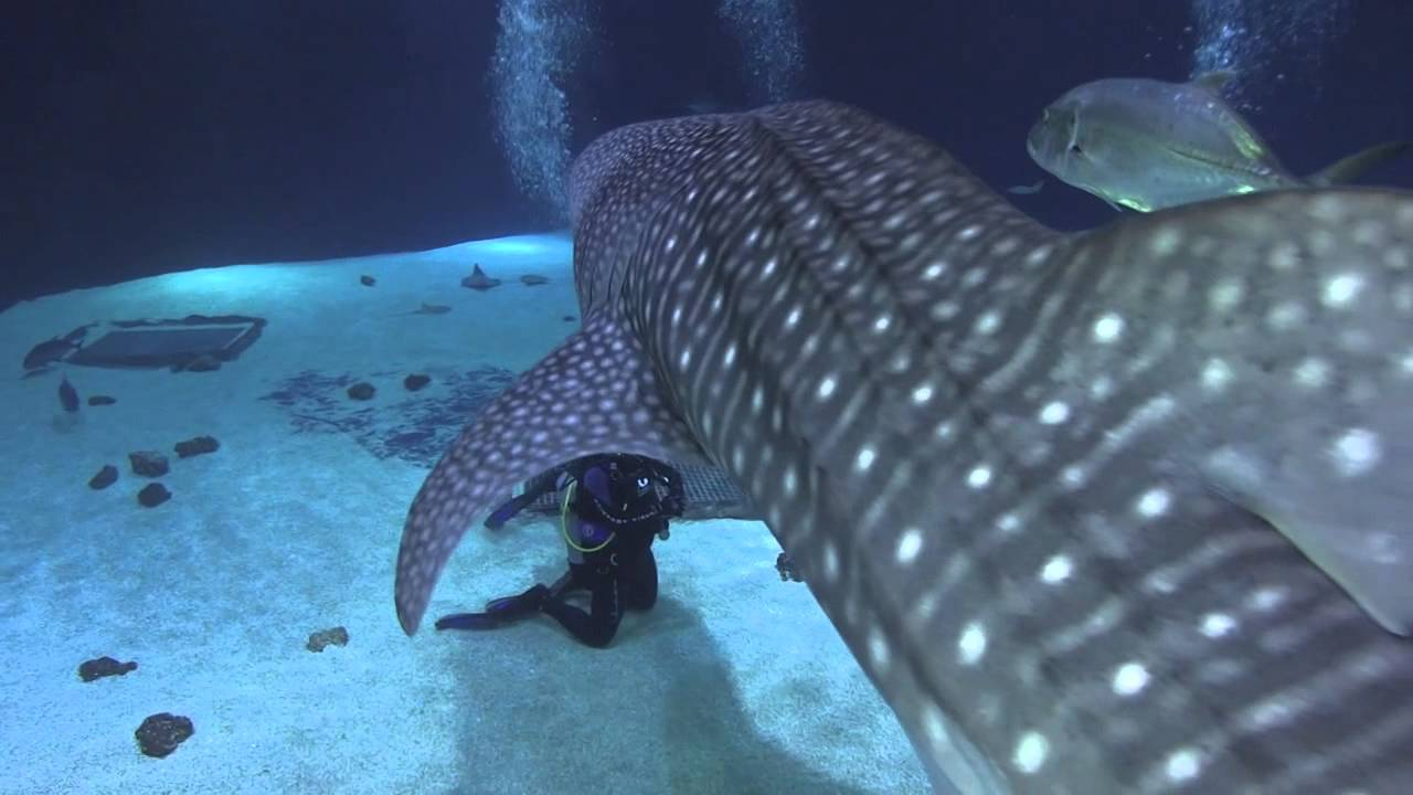 Diving With Whale Sharks In The Georgia Aquarium Youtube