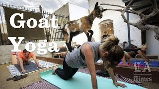 Fun Yoga With Baby Goats   Los Angeles Times