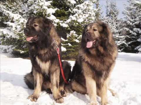 Big dogs, kaukasischer owtscharka, kavkaski ovcar,: king