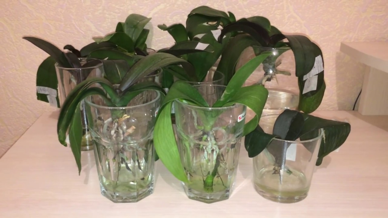 Выращивание фаленопсиса в воде 380