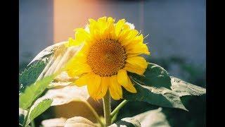 35mm - Life of a Sunflower - Kodak Ultramax  400