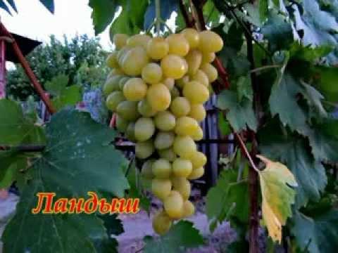 В  поисках  лучших  сортов  винограда.