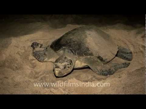 Olive Ridley turtles covered in sand