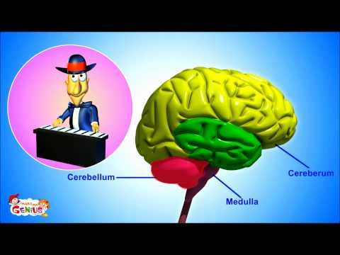 The Nervous System- Animation-Video for Kids -from www.makemegenius.com