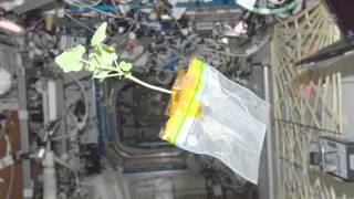 ScienceCasts: Glow-in-the-Dark Plants on the ISS