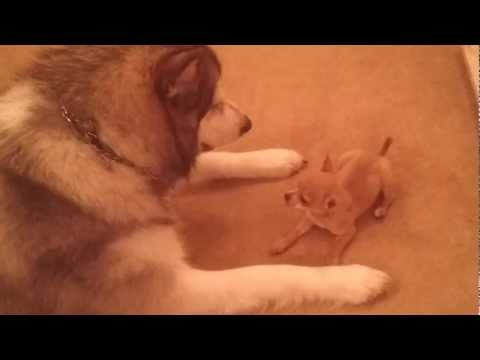 Alaskan Malamute playing with our new puppy Chihuahua Chiwawa play