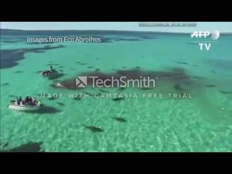 Drone captures shark feeding frenzy on whale in Australia