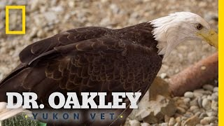 Bald Eagle Essentials | Yukon Do It