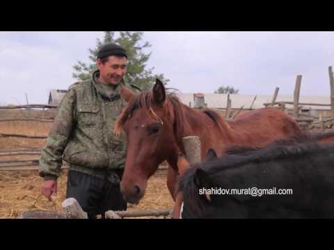 Один день табунщика в Чечне