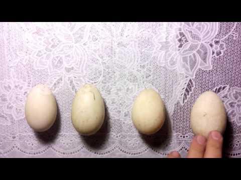 Как определить двухжелтковое яйцо, не разбив его. Определение двухжелткового яйца.
