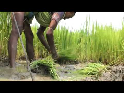 Traditional Paddy farmer in Orissa, India - Mr.Natabar Sarangi