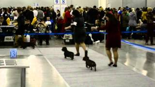 "Wire standard dachshunds - International Dog Show ""Russia-2014"""