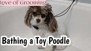 How to Bathe a Toy Poodle