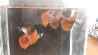 Big blue guppy farm clip.8 Tuxedo redtail big ears clip by Micky Red Tail