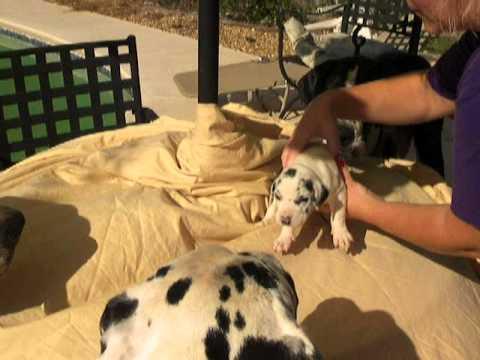 Great dane puppies for sale female harlequin alabama georgia florida