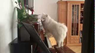 Funny Animal Dog Lila playing the piano and singing