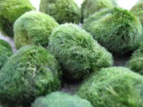 Moss Ball Moss Ball Lakes With Marimo