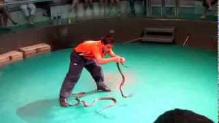 Circus snakes in Thailand look very dangerous