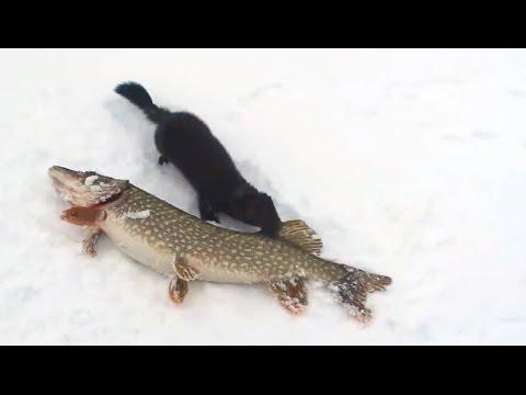Tiere klauen Fisch von Fischern || ✪ Stern DuTube