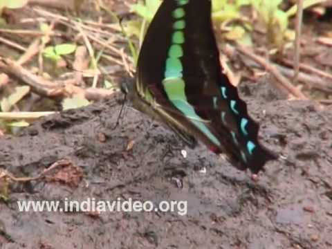 Common Blue Bottle or Graphium sarpedon