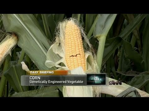 Ear Of Genetically Modified Corn Begs For Death