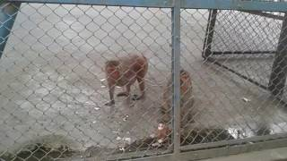 Baby Monkey in Dhaka Zoo. ঢাকা চিরিয়াখানায় বানর|