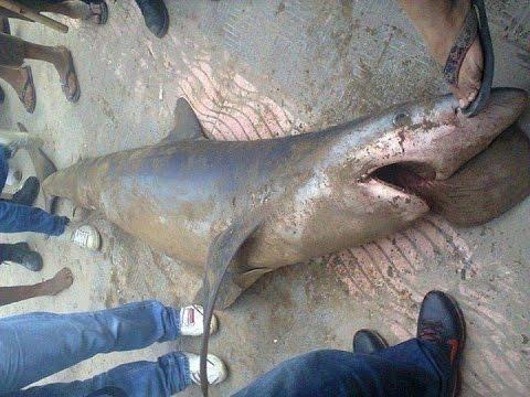 Algérie: Un requin s