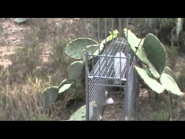 bobcat trapping with cage trap box trap, tip