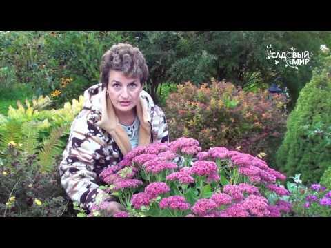 Неприхотливые садовые цветы  Очиток видный и многолетняя астра