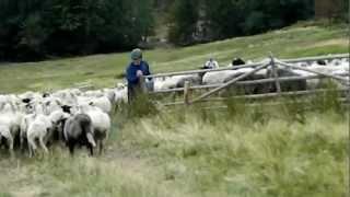 Owce do koszora