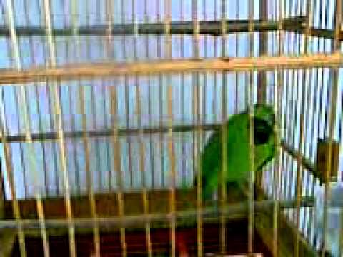 Kicau Burung Cucak Ijo  (private) video