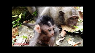 RIP for Adorable baby monkey! Very pity adaptive Mum because her baby gone, Monkey Camp part 1655