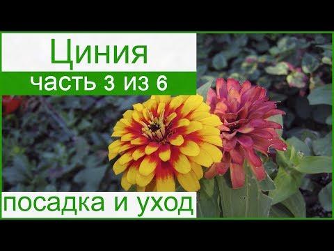Циния выращивание и уход в открытом грунте 51