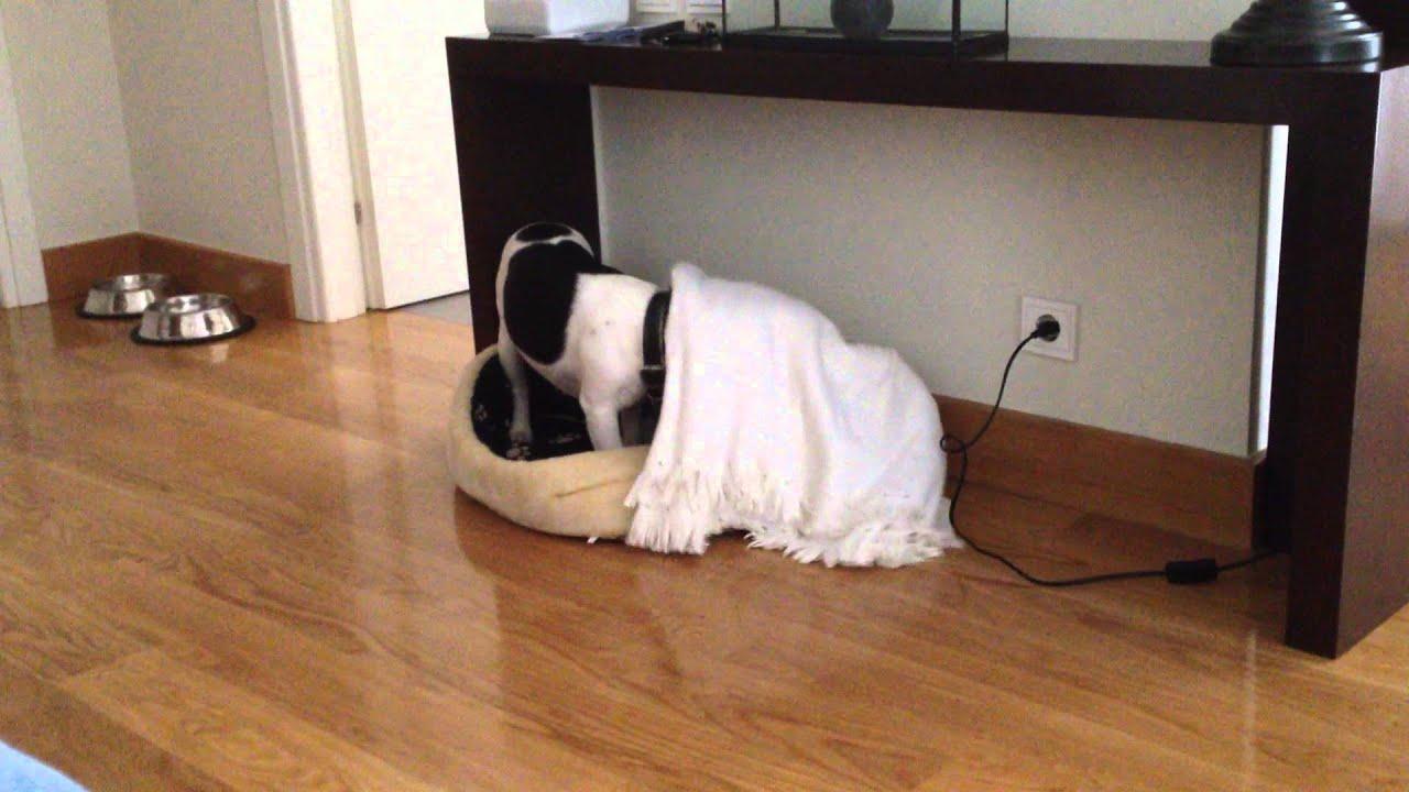 french buldog bono prepares his bed before go to sleep