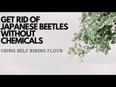 Get rid of Japanese Beetles without chemicals