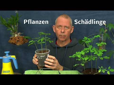 Thripse an Zierpflanzen behandeln. Neem auch gegen andere saugende Insekten an Pflanzen